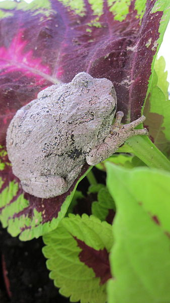 File:Gray Tree Frog on Leaf 09.JPG