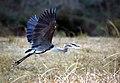 Great Blue Heron (389988919).jpg