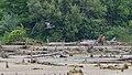 Great Blue Heron (Ardea herodias) - Kitchener, Ontario.jpg