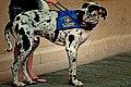 Great Dane (15157955698).jpg