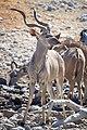 Greater Kudu Right 2019-07-28.jpg