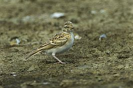 Greater Short-toed Lark - Spain S4E6223 (16759765178).jpg