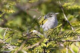 Green-tailed Warbler(Microligea palustris) (8082776636).jpg