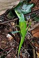 Green crested lizard, Bronchocela cristatella (8447421679).jpg