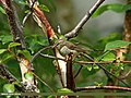 Greenish Warbler (Phylloscopus trochiloides) (23591228996).jpg