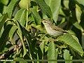 Greenish Warbler (Phylloscopus trochiloides) (50791615203).jpg