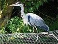 Grey Heron (Ardea cinerea) (7979299008).jpg