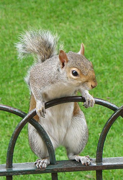 File:Grey Squirrel--St-Jamess-Park-London-1.JPG