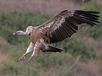 Griffon vulture landing.jpg