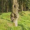 Grillige stam van een eik (Quercus). Locatie, het Katlijker Schar (Ketliker Skar) 02.jpg