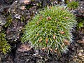 Grimmia pulvinata 126663411.jpg