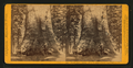 Grizzly Giant, (circum. 101 ft; the Largest Tree Know), Mariposa Co, by John P. Soule.png