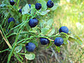 Growing blueberry.jpg