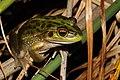 Growling Grass Frog (Litoria raniformis) (8615947746).jpg