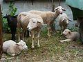 Gruppe Schafe.JPG