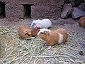 Guinea Pig Farm.jpg
