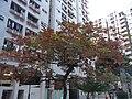 HK Hung Hom 家維邨 Ka Wai Chuen central park red tree Jan-2013.JPG