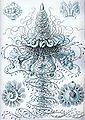 Haeckel Siphonophorae 37.jpg