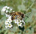 Halictus sp. Male - Flickr - gailhampshire.jpg
