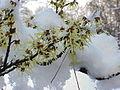 Hamamelis mollis1.jpg