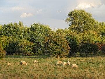 Hamburg, Naturschutzgebiet Höltigbaum, Landschaftspflege durch weidende Schafe, WDPA ID 318567.jpg