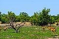 Harem de cob de buffon dans le parc national de la Pendjari.jpg