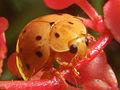 Harmonia sedecimnotata on red flower - SaranganIDN20100819 40.jpg