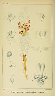 <i>Evotella</i> A genus of flowering plants belonging to the orchid family