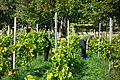 Harvesting grapes in Chateaux Luna vineyard 4.jpg