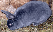 Domestic rabbit - Wikipedia