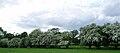 Hawthorn blossom in Allesley 2.jpg