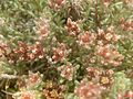 Helichrysum lineare, blomme, Tweeling, c.jpg