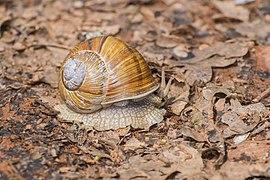 Helix pomatia in Aveyron (1).jpg
