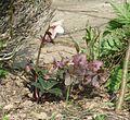 Helleborus Emma - Flickr - peganum (6).jpg