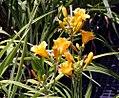 Hemerocallis Orange Gumdrops 9zz.jpg