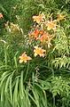 Hemerocallis dumortieri BotGardBln07122011C.jpg