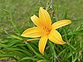 Hemerocallis lilioasphodelus flower.jpg