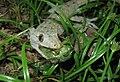 Hemidactylus frenatus feeding on cicada Malaysian rainforest.jpg