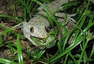Wildlife of Malaysia - Hemidactylus frenatus