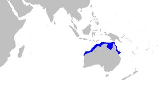 Speckled carpetshark Species of shark