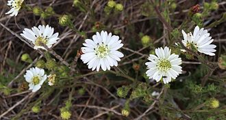 Hemizonia congesta - Hemizonia congesta ssp. luzulifolia, Estero Bluffs State Park.