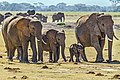 Herd of Elephants.jpg
