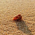 Hermit crab in the sand.jpg