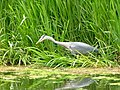 Heron at Billingham Beck Country Park - geograph.org.uk - 42159.jpg