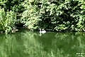 Heron at Bonchurch Village Road pond.jpg