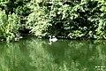 Heron at Bonchurch Village Road pond.jpg