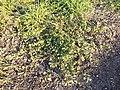 Hibiscus trionum sl37.jpg