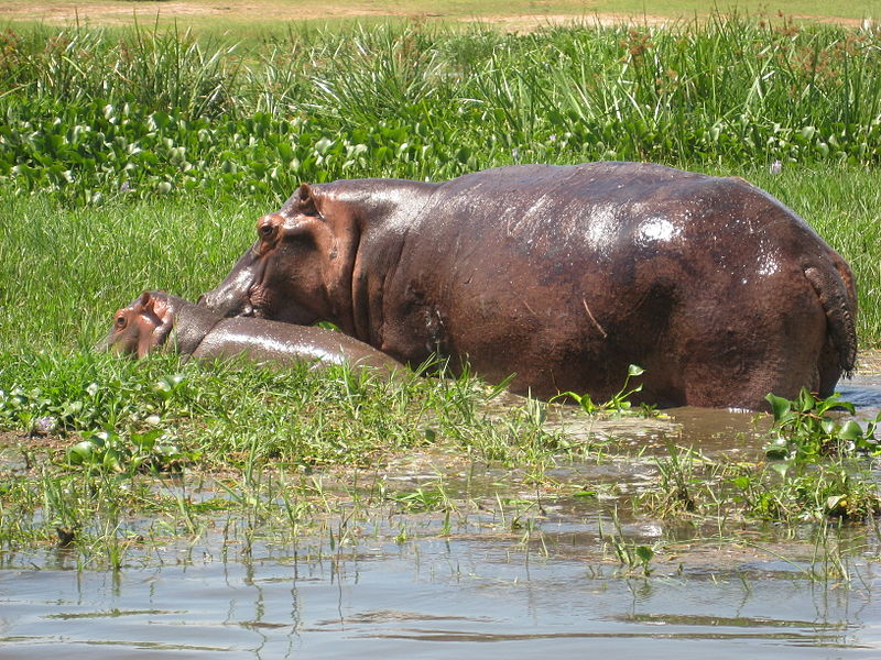 Mother hippo with young