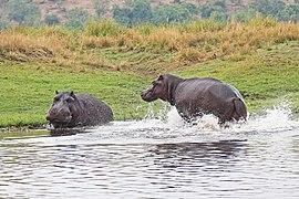 Hippopotamus in Chobe National Park 08.jpg