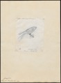 Hirundo striolata - 1857-1858 - Print - Iconographia Zoologica - Special Collections University of Amsterdam - UBA01 IZ16700147.tif